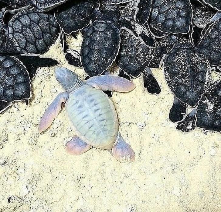 черепаха-альбинос