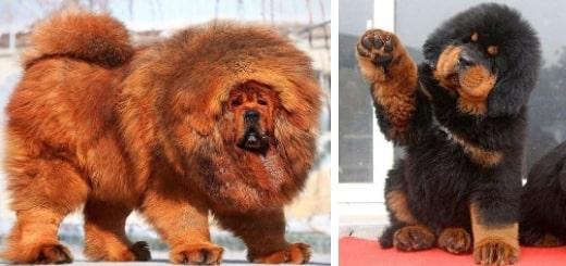 20 фото тибетских мастифов, которые объясняют, почему они самые дорогие собаки в мире