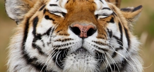 40 интересных фактов о тиграх