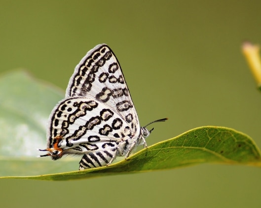 Бабочка Lilac Silverline