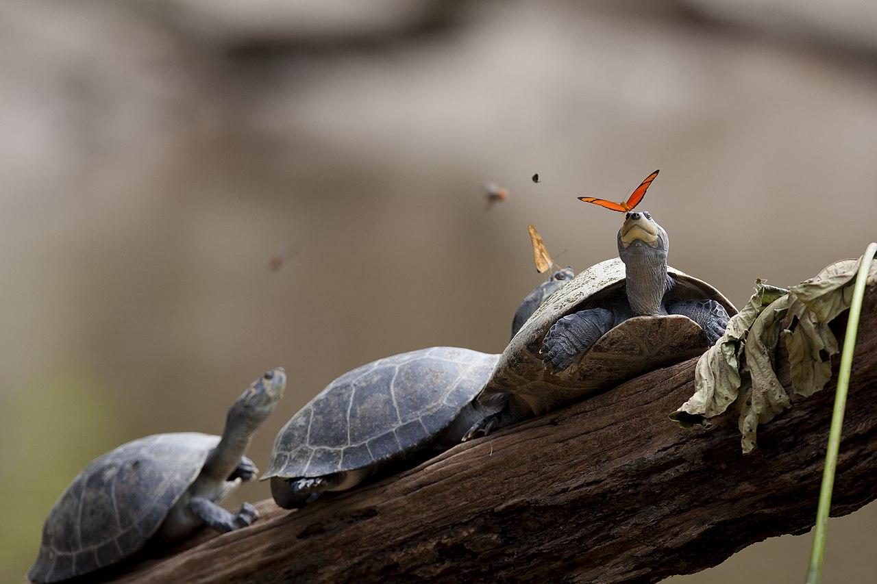 Бабочка, пьющая слезы черепахи