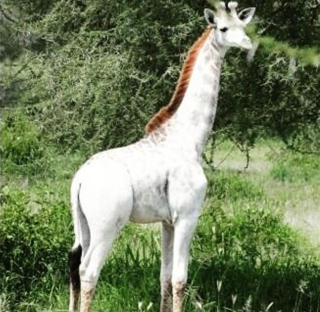 Белоснежный жираф