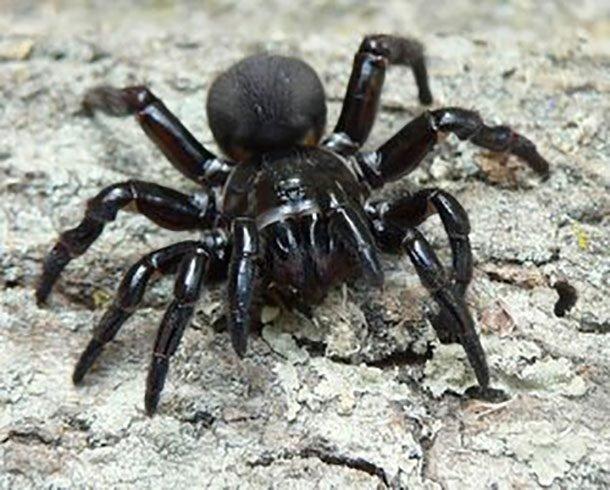 Черный бронированный скрытный паук
