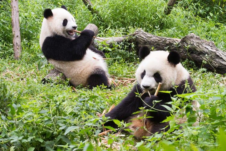 Национальное животное Китая