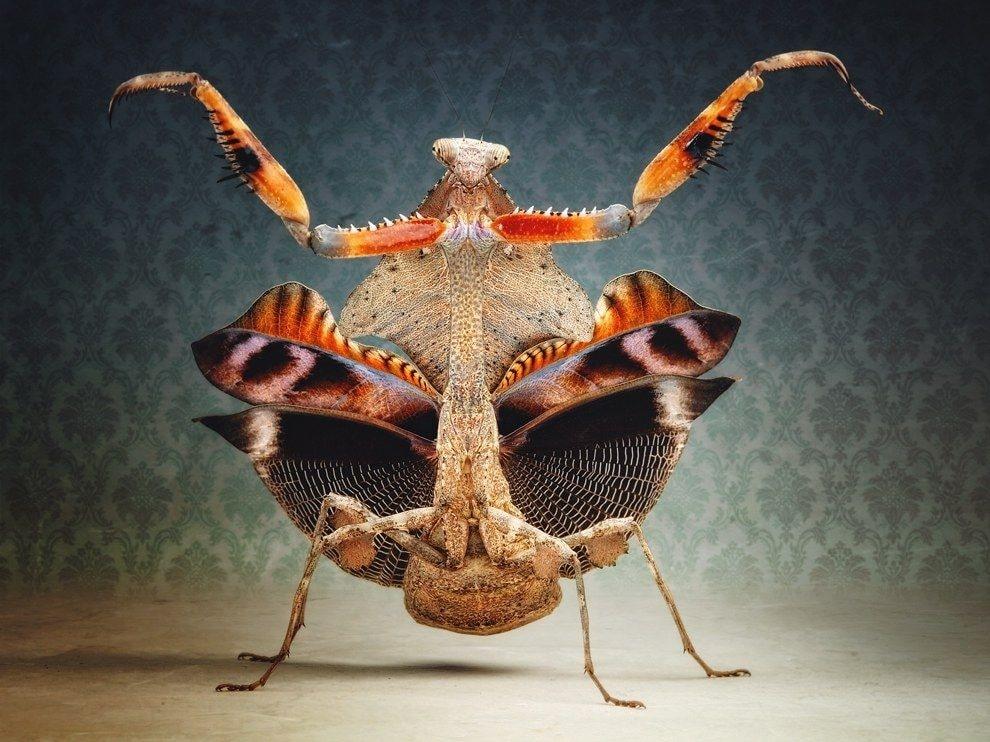 Фото богомола: Deroplatys desiccata