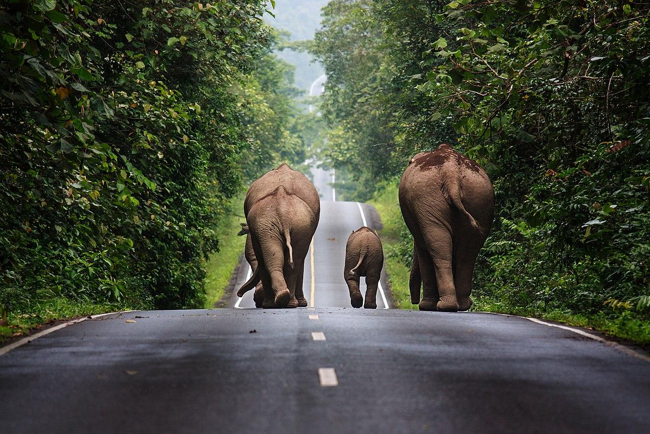 Дикие слоны идут по дороге в районе национального парка Кхао Яй