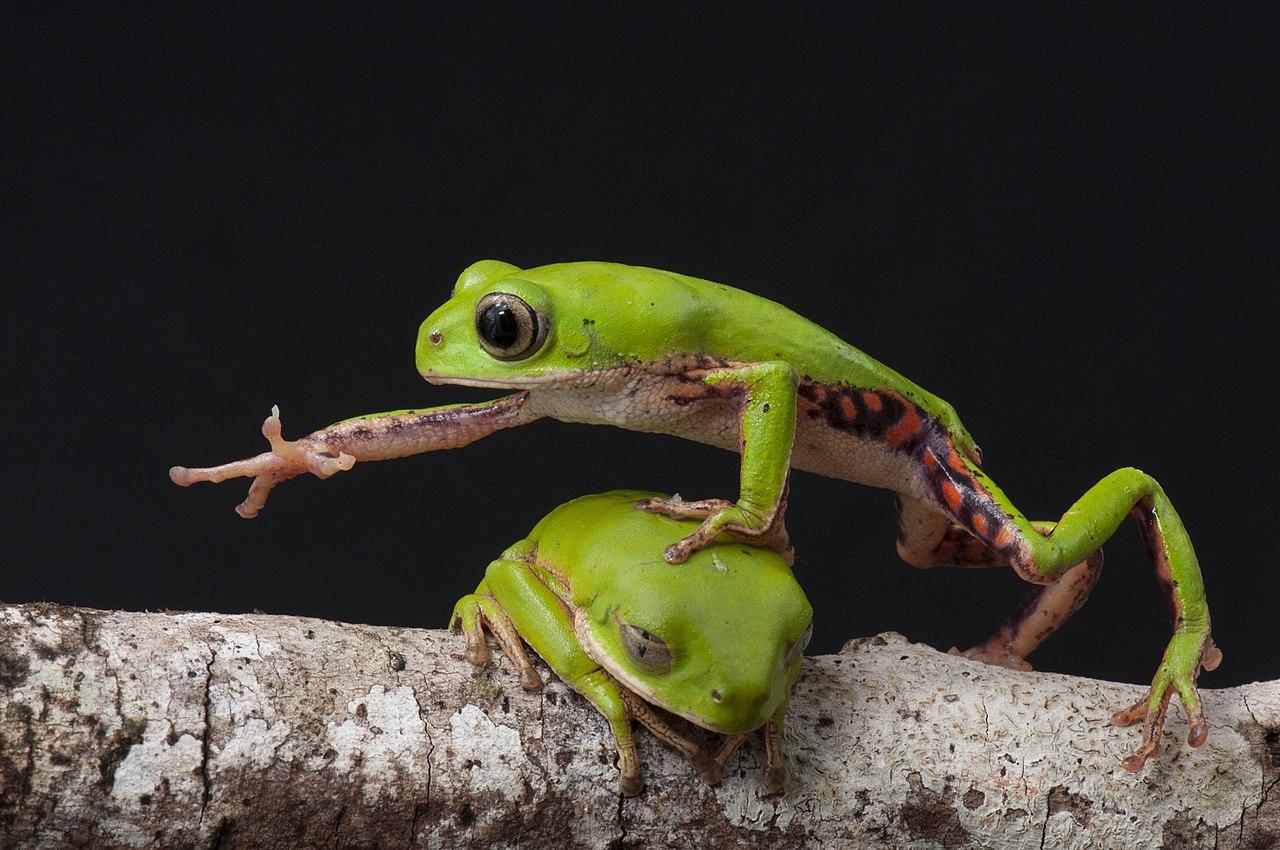 Две лягушки соперничают друг с другом за ветку