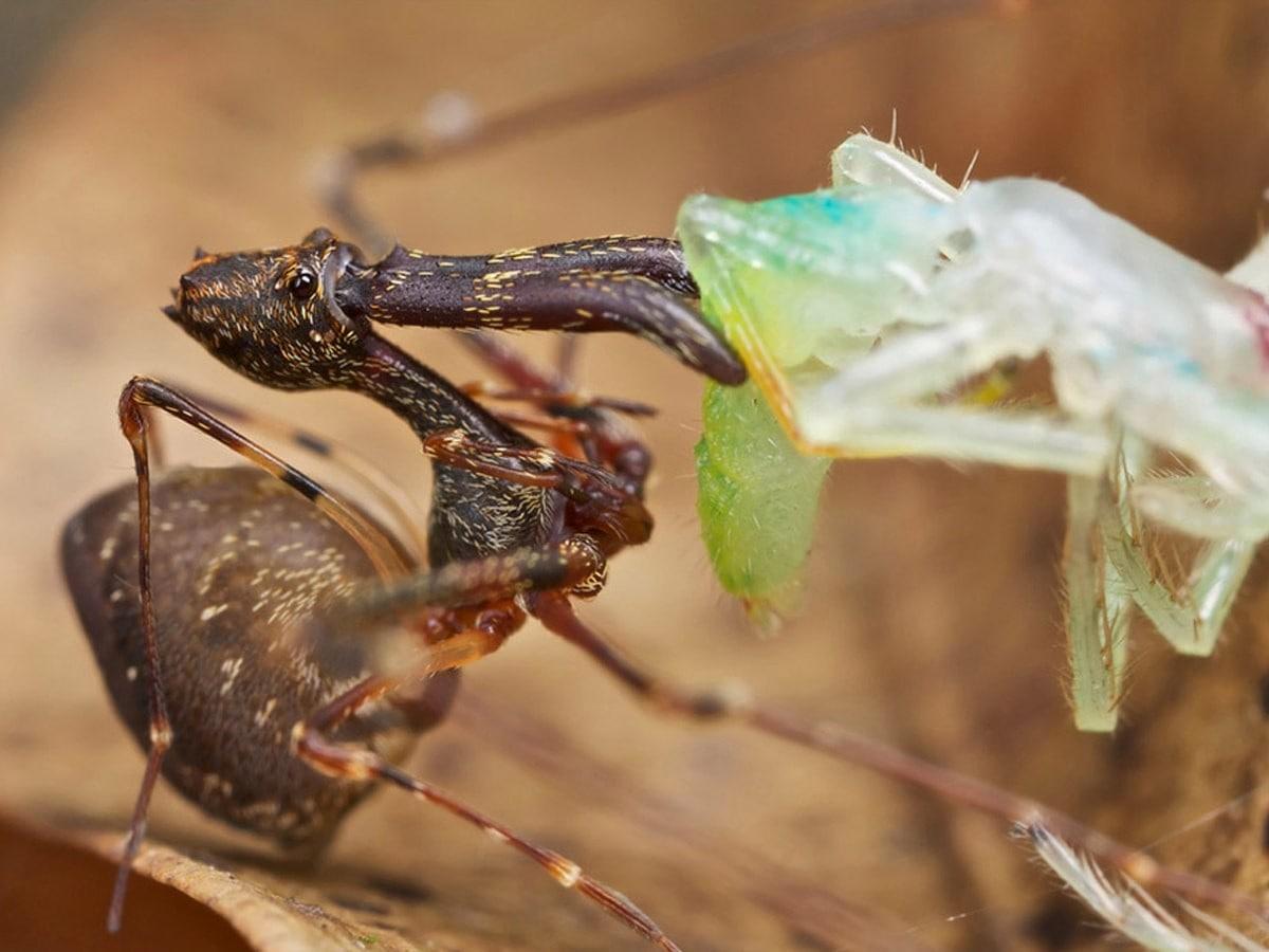 Мадагаскарский паук-убийца