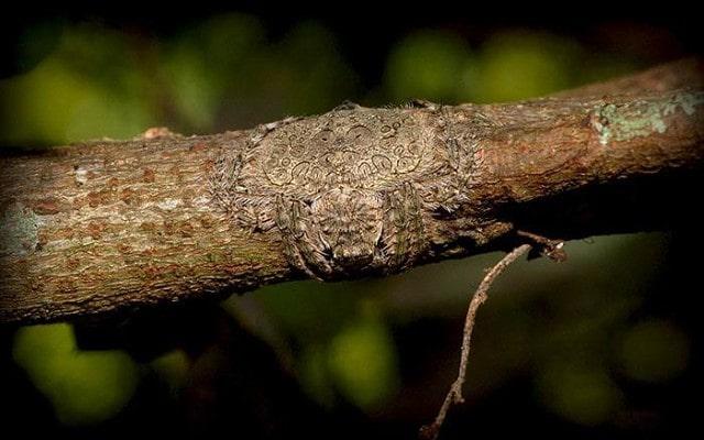 Оберточный паук