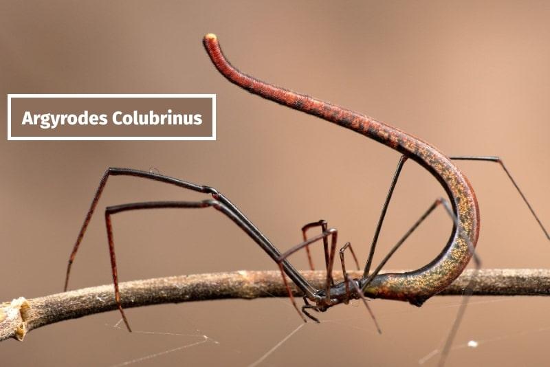 Паук Argyrodes Colubrinus