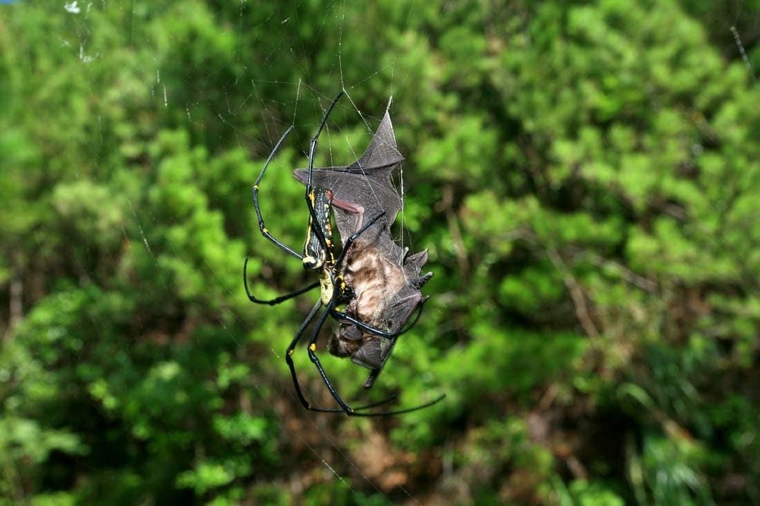 Паук, поедающий летучих мышей