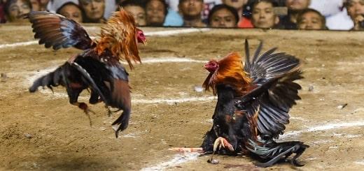 Петушиные бои - прибыльный и легальный «спорт» на Филиппинах 18+