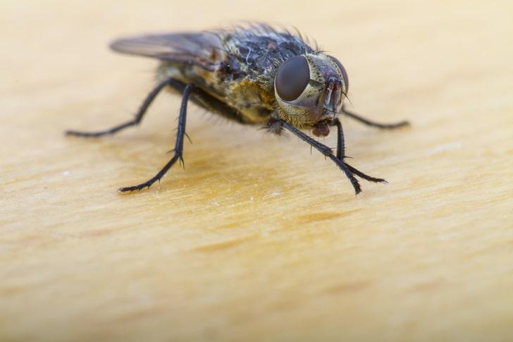 Почему мухи постоянно потирают лапками