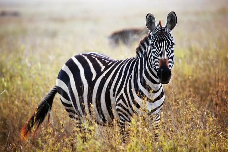 Почему зебры полосатые и зачем им полоски