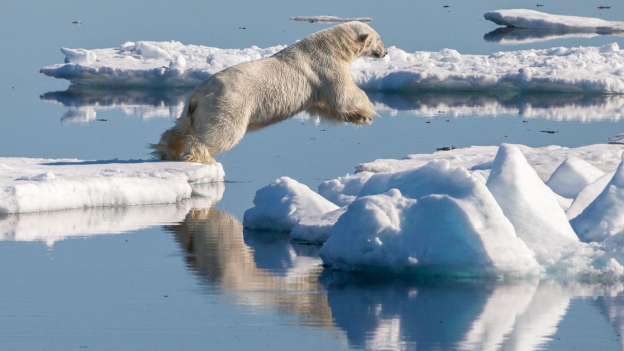 Самец белого медведя преследует морского зайца