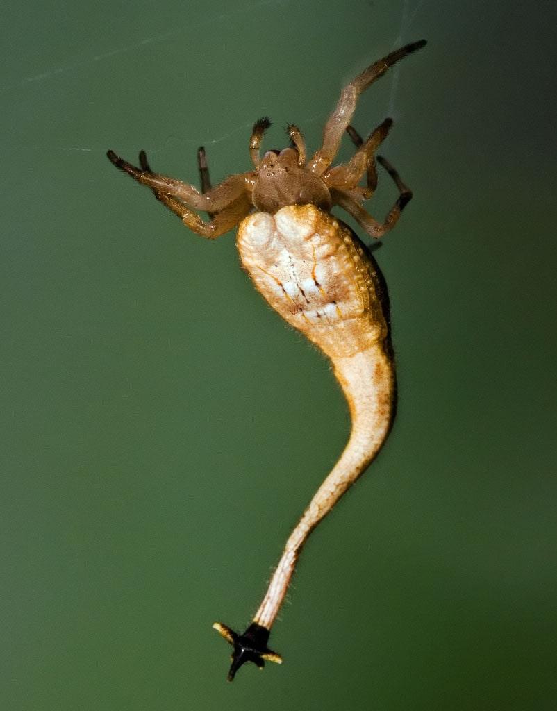 Скорпионохвостый паук