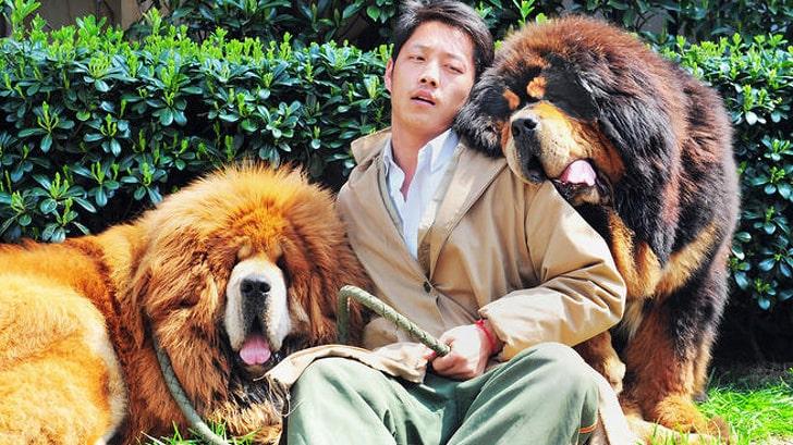 Тибетский_мастиф_фото