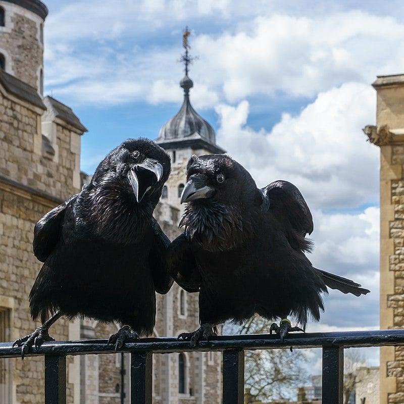 Вороны Лондонского Тауэра