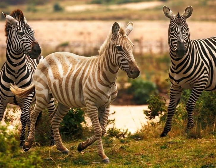 Золотистая зебра