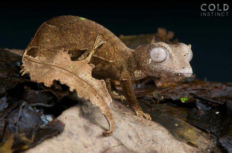 Фантастический листохвостый геккон