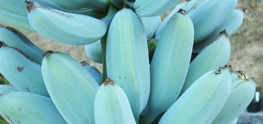 Голубая Ява: банан, который на вкус как мороженое