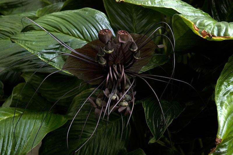 Китайский мышецвет / Chinese Black Batflowers