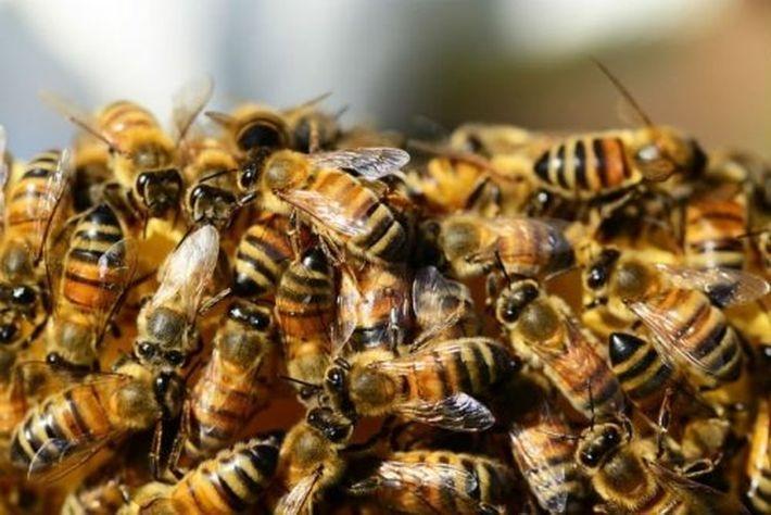 Пчелы способны находить бомбы