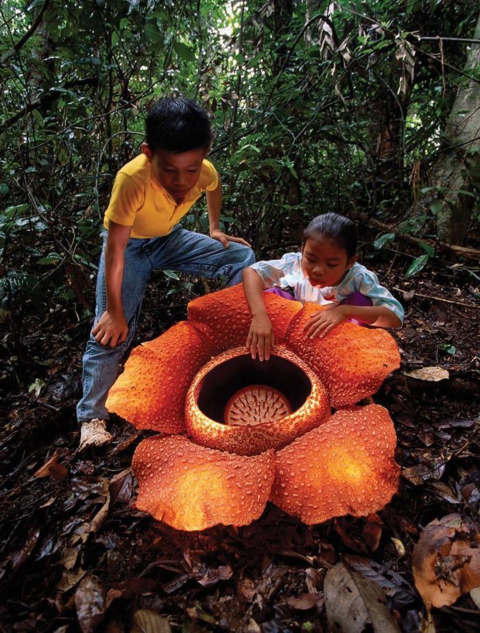 Раффлезия / Rafflesia