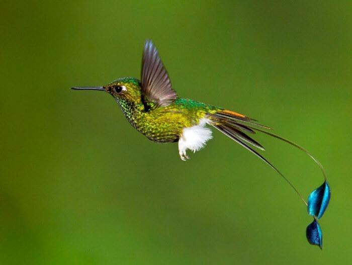 Ракетохвостый колибри