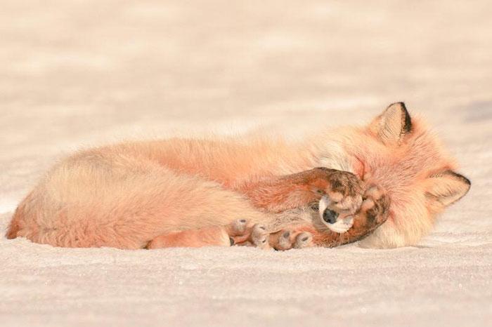 Рыжая лисица Хоккайдо