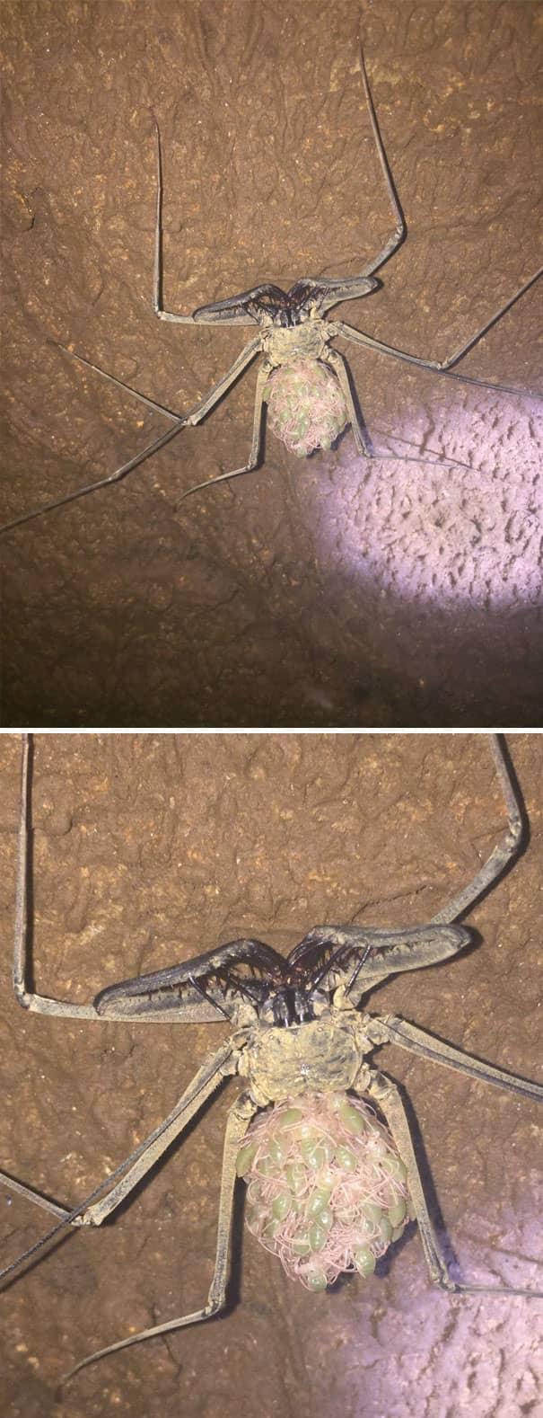 Самка жгутоногих пауков носит потомство на спине