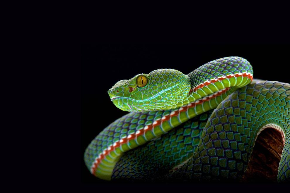 Ямкоголовая змея