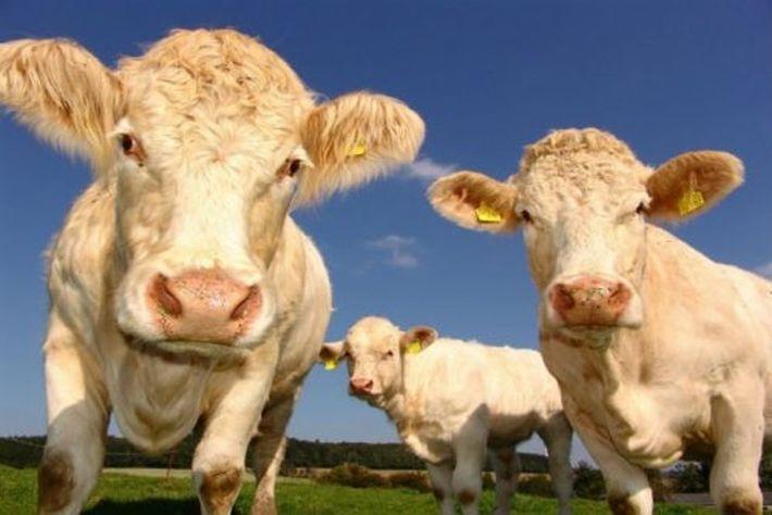 У коров есть свои региональные акценты