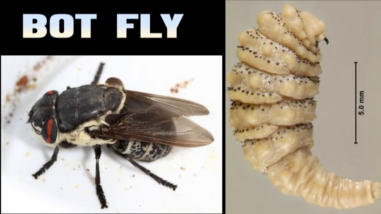 Муха-личинка