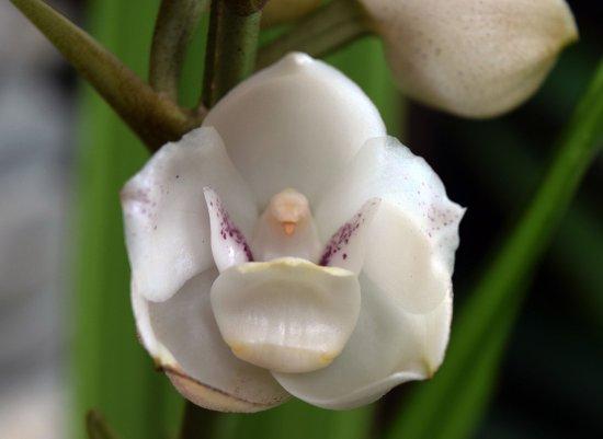Орхидея святой дух