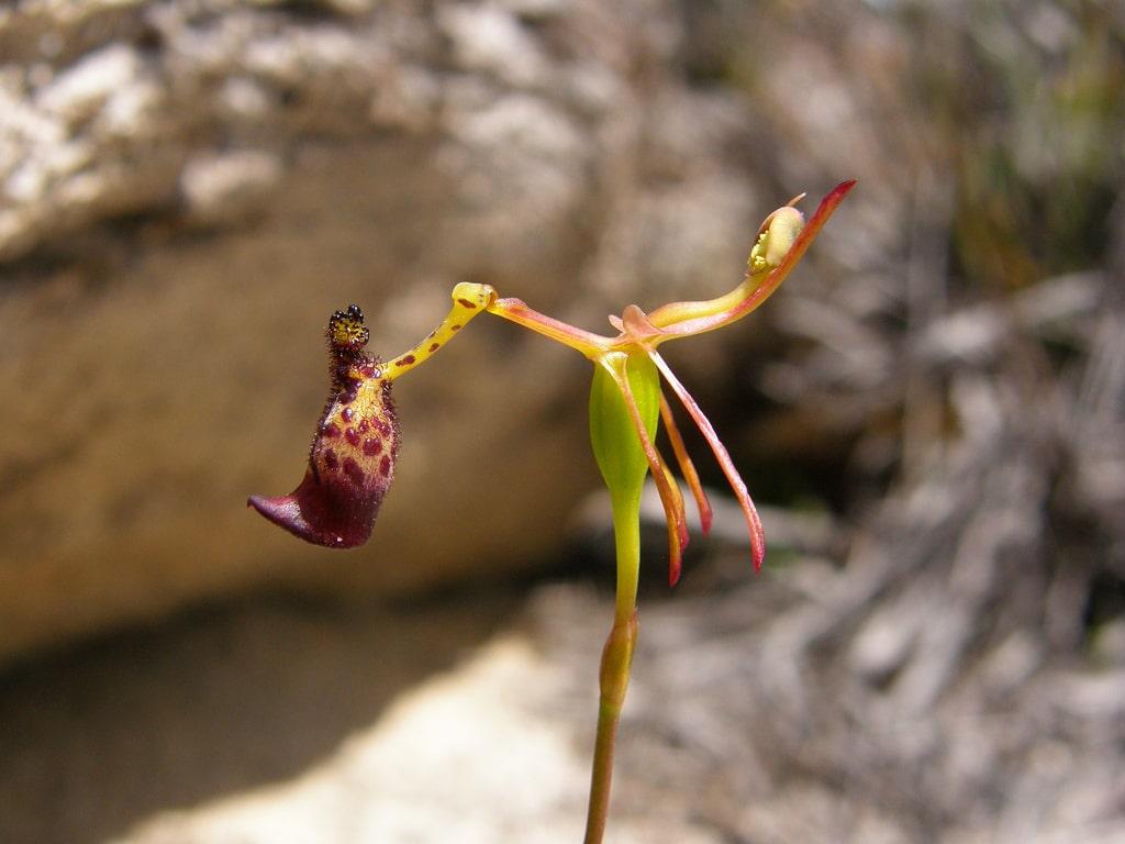 Сексуальная орхидея