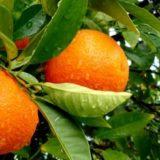 12 интересных фактов об апельсинах
