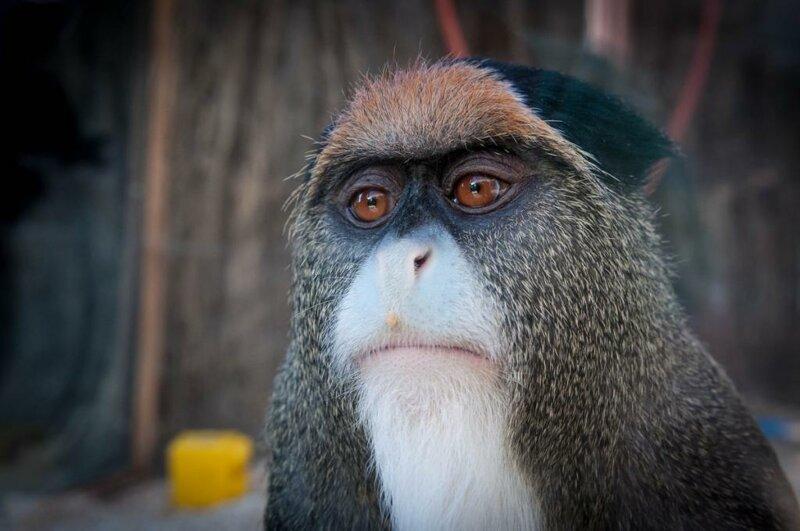 Болотная обезьяна