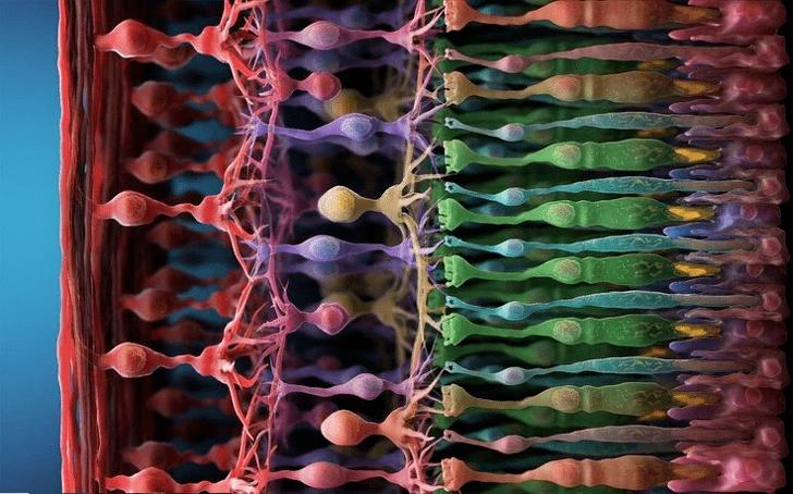 Фоторецепторы в глазу