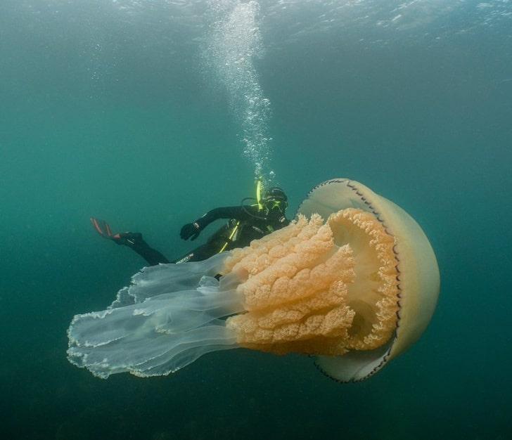 Гигантская медуза размером с человека