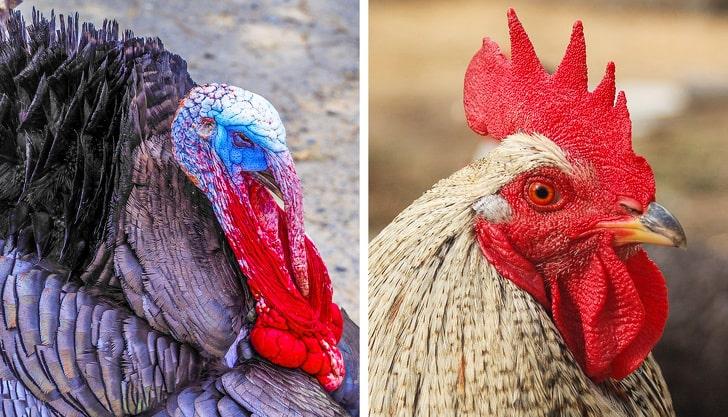 Гребни у индюков и куриц