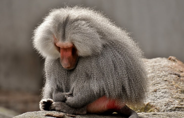Красная попа у некоторых приматов