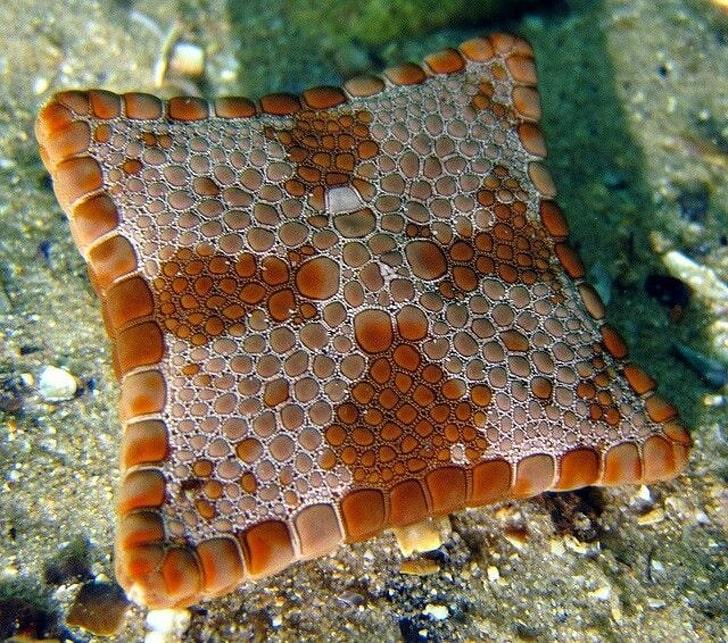 Морская звезда с 4 лучами