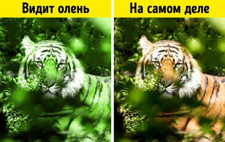 Окрас тигра