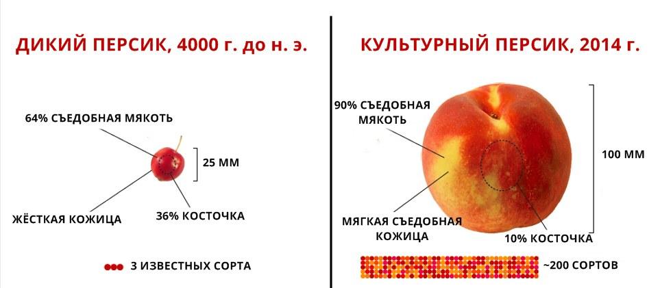 1. Персик до и после