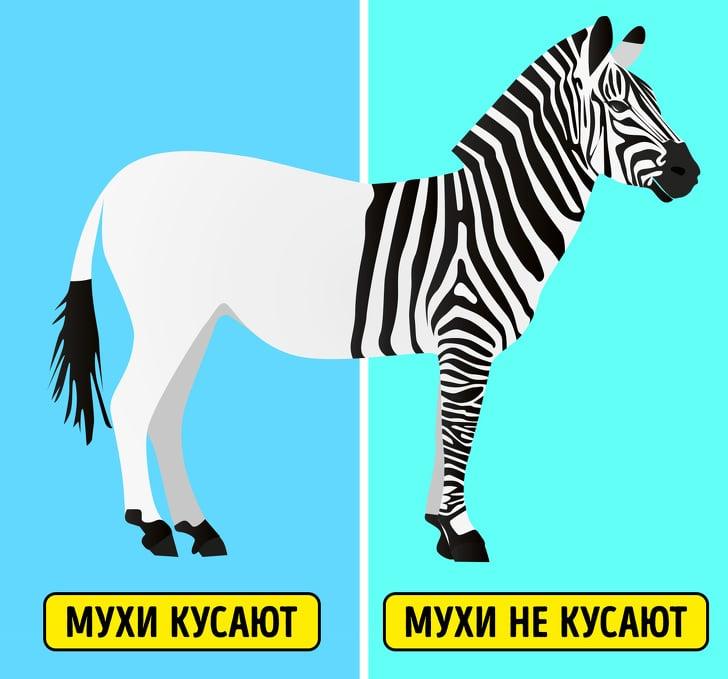 Полоски зебры