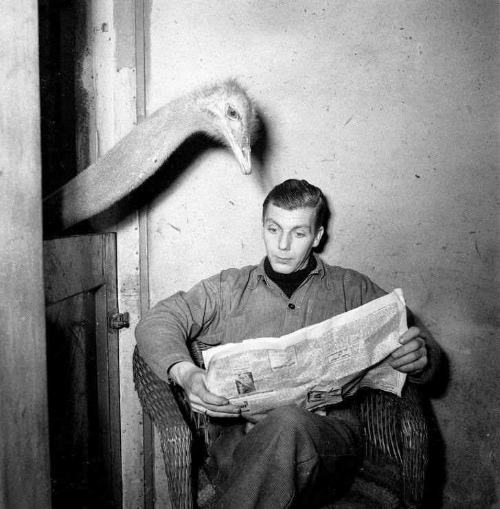 Страус «читает» газету
