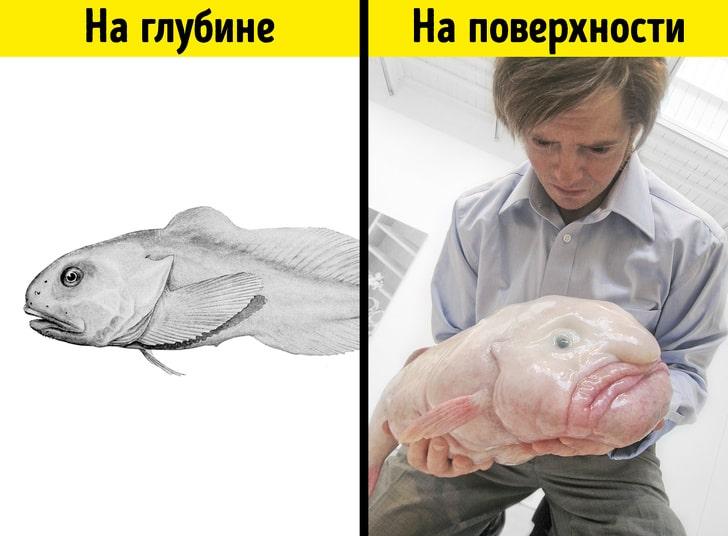 «Унылость» рыбы-капли
