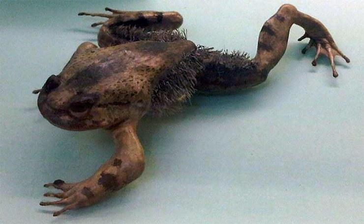 Волосатая лягушка