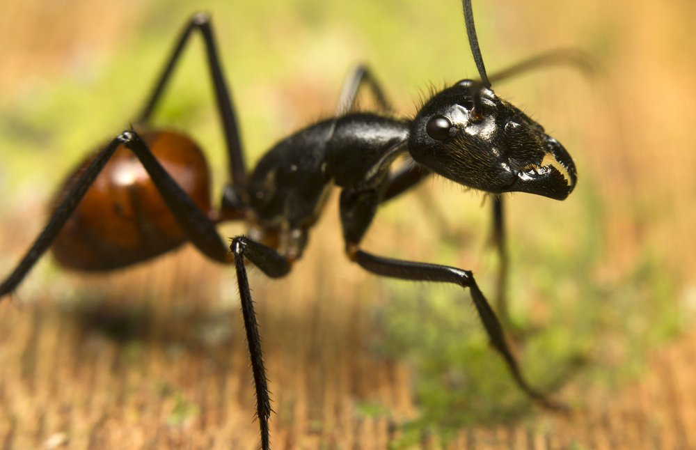 Взрывающийся муравей